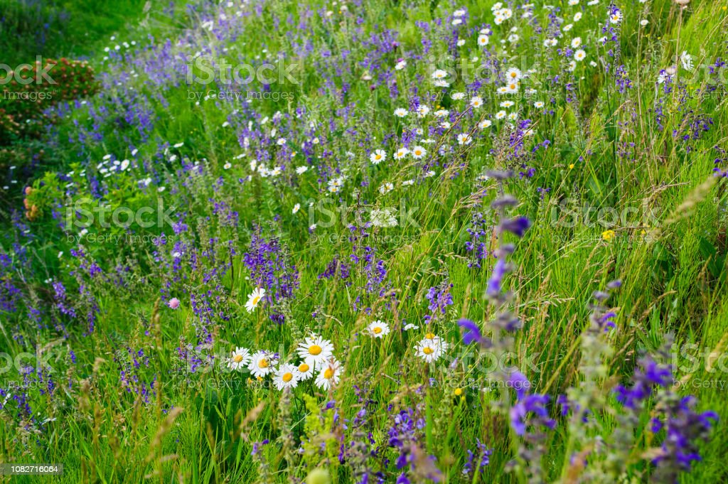 field of white daisies and lilac lupine flowers stock photo