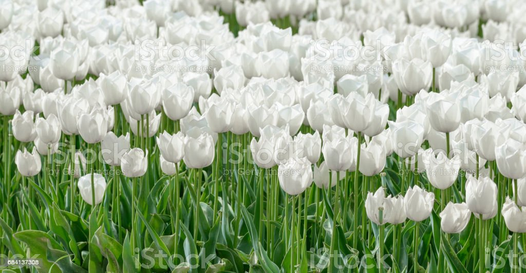 Field of white Tulips zbiór zdjęć royalty-free
