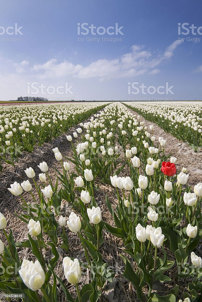 Champ de tulipes sur blanc avec Tulipe rouge photo libre de droits