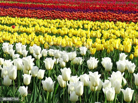 Field Of White Yellow Two Color Purple And Red Tulips Stock Photo & More Pictures of Beauty
