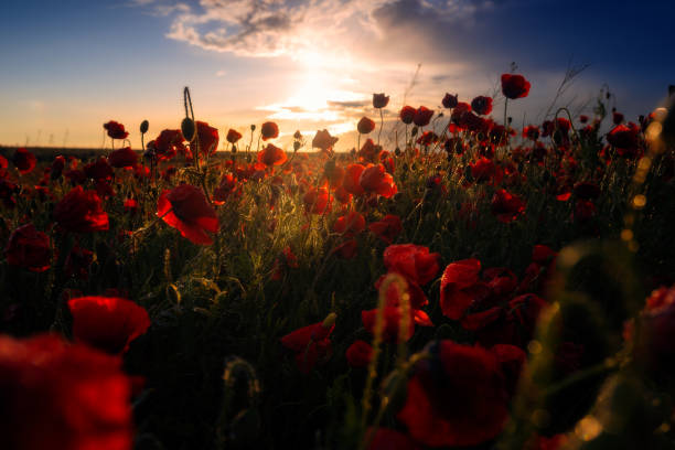 Field of wild beautiful poppies growing in a cozla field at sunrise sunset with cloudy blue sky after a heavy storm stock photo