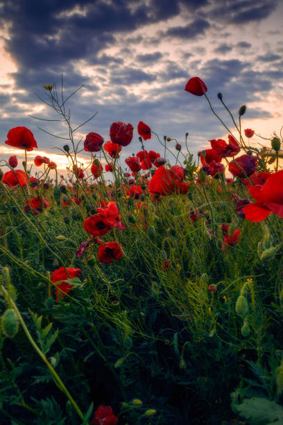 Field of wild beautiful poppies growing in a cozla field at sunrise sunset with cloudy sky stock photo