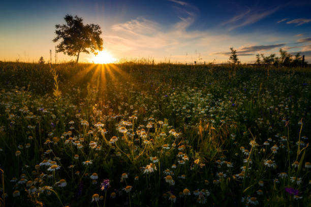 Field of wild camomile flowers with a sunbeam illuminating a group of flowers shot at sunrise or sunset with a tree in the background against a blue sky stock photo