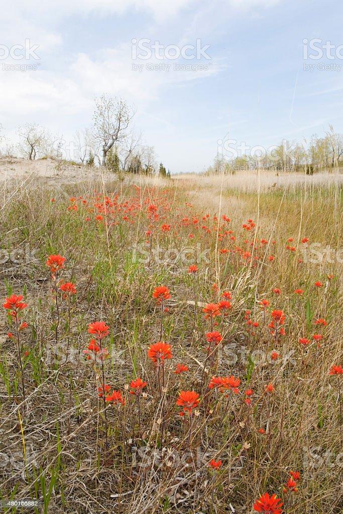 Field of Wild Indian Paintbrush stock photo
