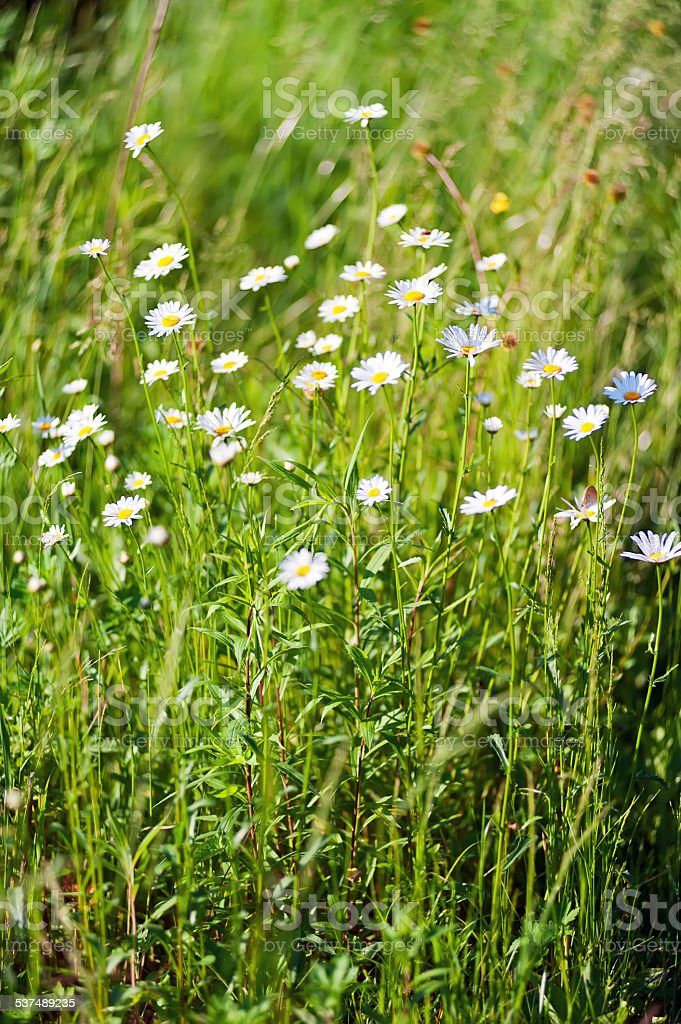 Field of wild little white daisy flowers. stock photo