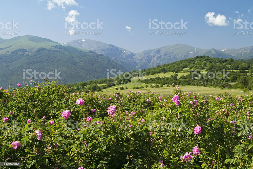 Field of wild pink roses in mountainous green scenery stock photo