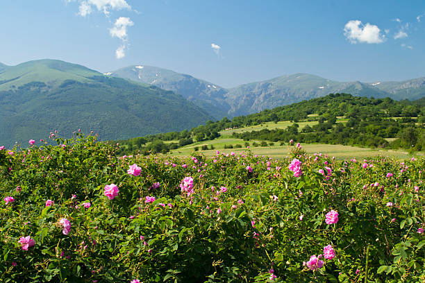 Field of wild pink roses in mountainous green scenery The famouse rose fields in the Tracian Valley near Kazanlak Bulgaria bulgaria stock pictures, royalty-free photos & images