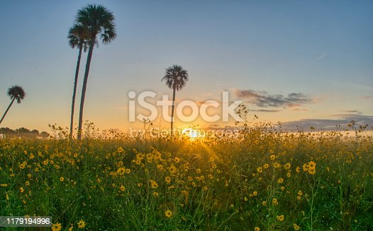 A field of wild yellow sunflowers in full bloom in the surroundings of Lake Jesup near Orlando Florida.