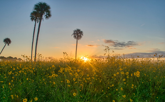 Field of Wild Sunflower Wildflowers at Sunrise in Central Florida Woodlands of Lake Jesup by Orlando