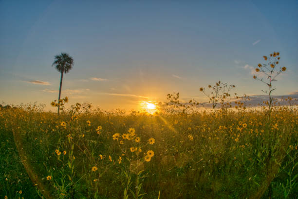 Feld der wilden Sonnenblumen Wildblumen bei Sunrise in Central Florida Woodlands of Lake Jesup von Orlando – Foto