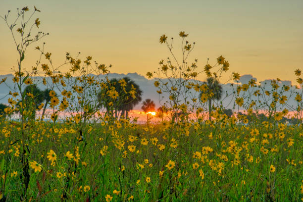 Feld der wilden Sonnenblumen Wildblumen in Central Florida Woodlands of Lake Jesup von Orlando – Foto