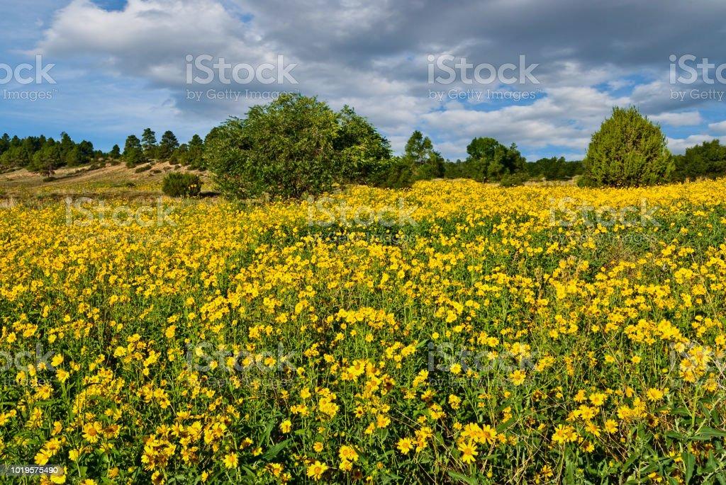 Field of Wild Sunflowers stock photo