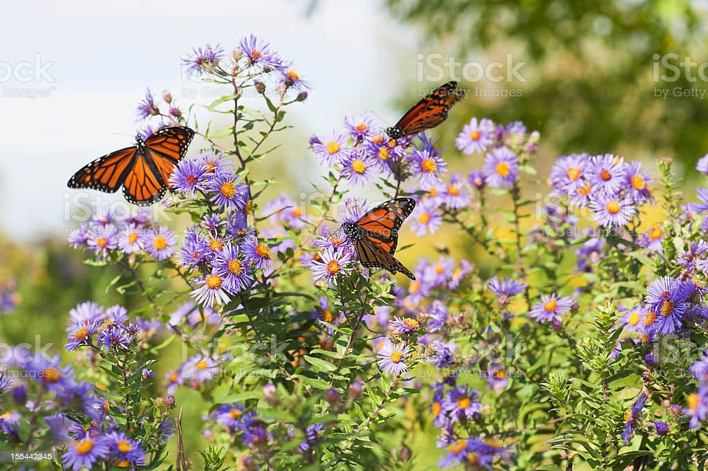 Field Of Wildflowers and Monarchs stock photo