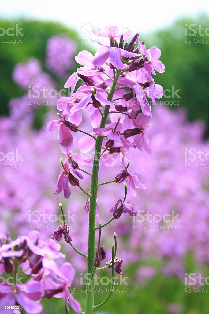 Field of Wildfowers royalty-free stock photo