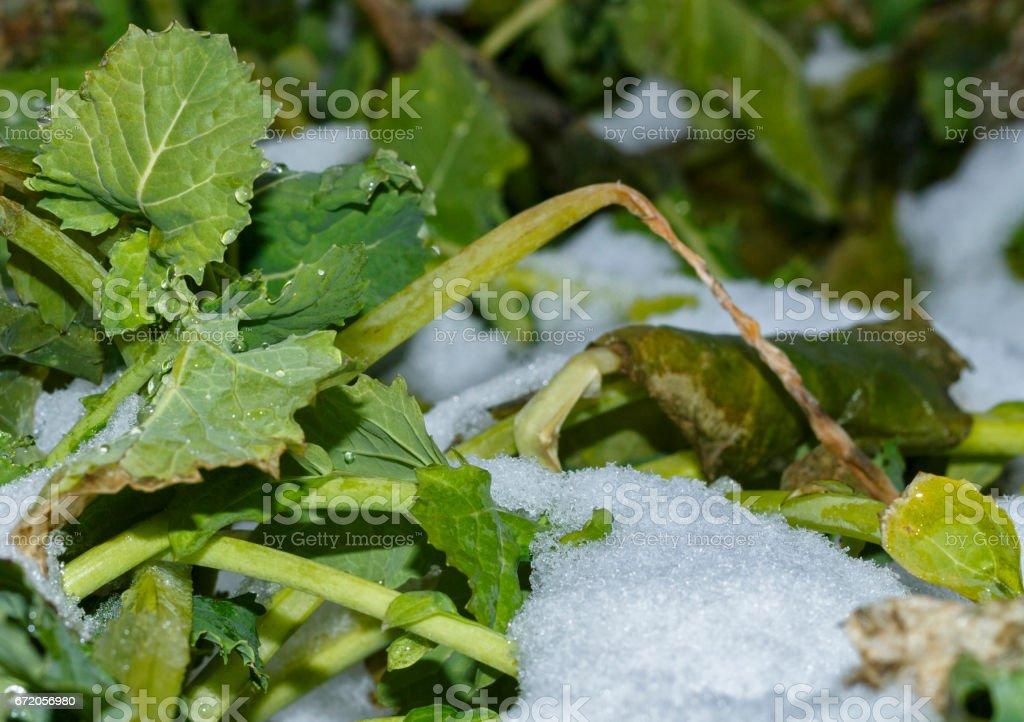 Field of winter rape stock photo