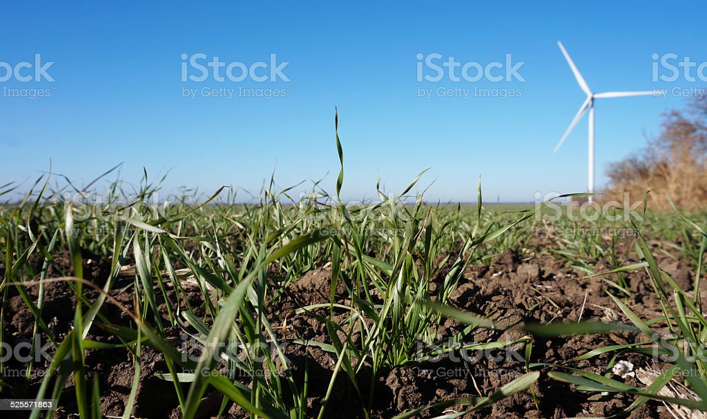 Field of winter wheat Field of winter wheat. A wind turbine in the background. The fall. Agricultural Field Stock Photo