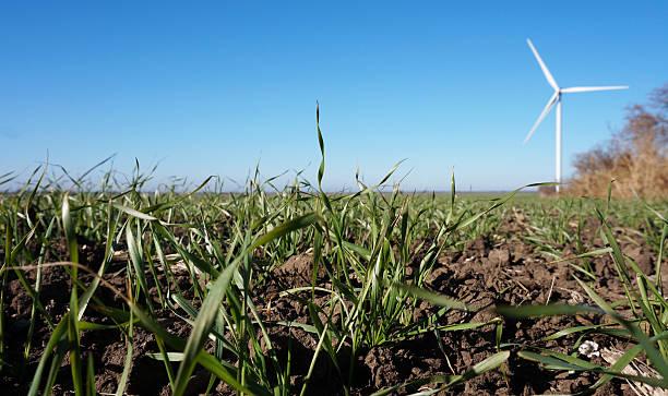 Field of winter wheat stock photo