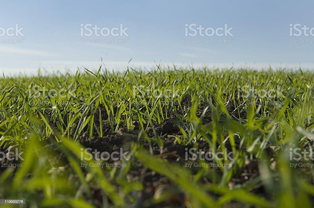 Field of winter wheat shoots stock photo