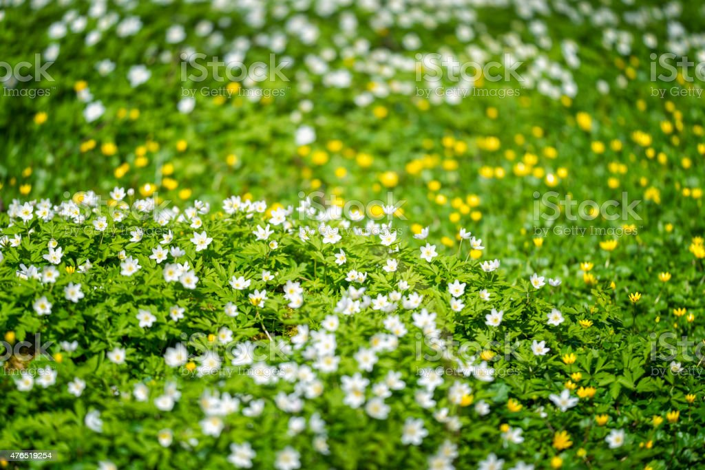 Field of wood anemones and buttercups stock photo