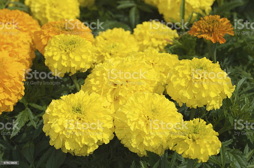 Champ jaune et Orange Chrysanthenums photo libre de droits