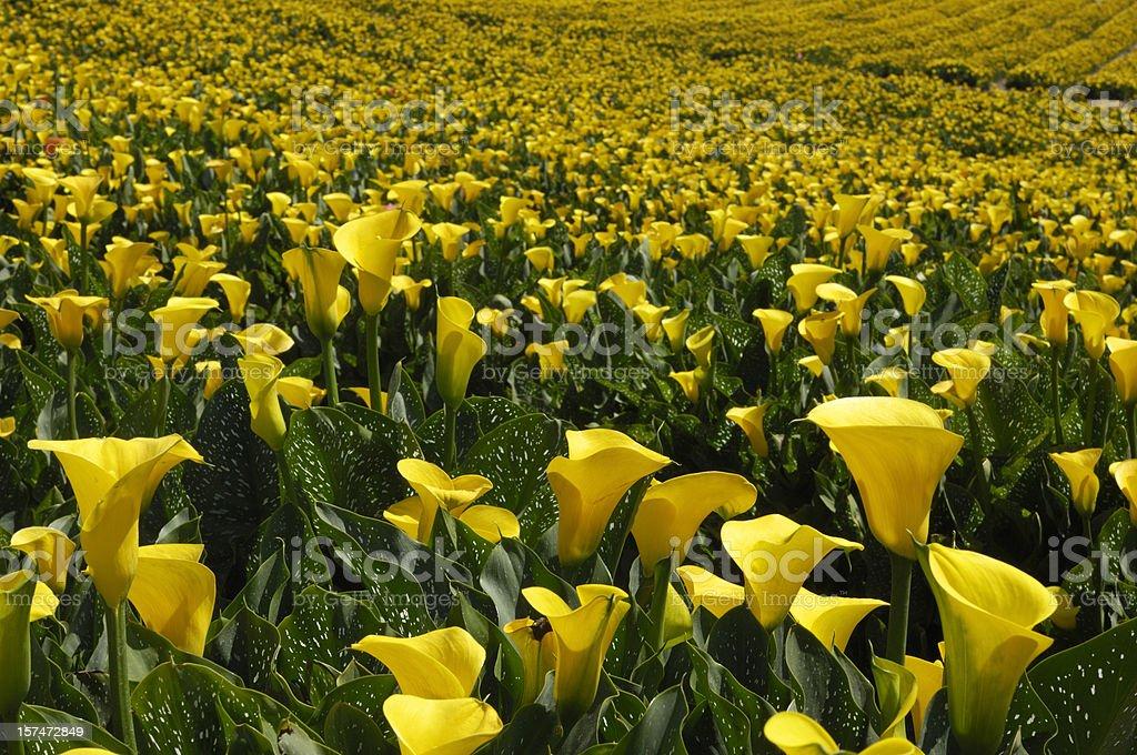 Champ de fleurs de lys (callas) retournées jaune - Photo