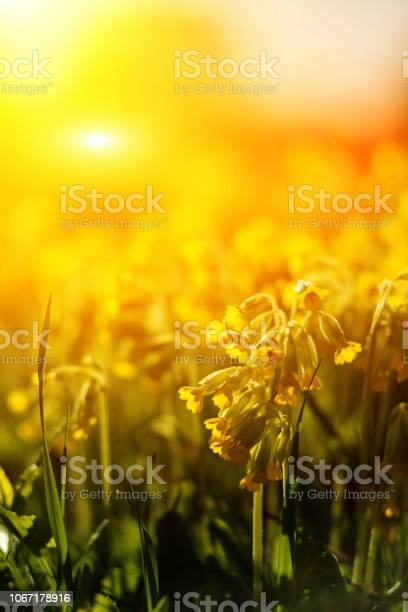 Field of yellow cowslip flowers or primula veris on sunset picture id1067178916?b=1&k=6&m=1067178916&s=612x612&h=rwnot1tfo7 ikypghd40qeupcf055kkfjuzwoxa2 aw=