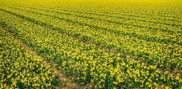 Field of yellow daffodils in Holland stock photo