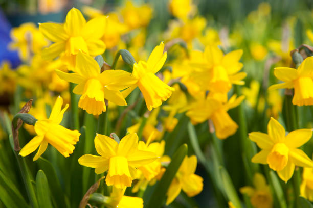 Field of yellow daffodils - narcissus flowers stock photo