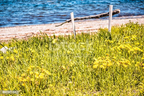istock Field of yellow dandelion flowers by wooden fence along Saint Lawrence river in Cap-Chat, Quebec, Canada in Gaspesie region 865951642