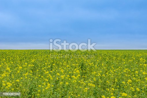 510149992 istock photo A Field Of Yellow Flower 1090092042