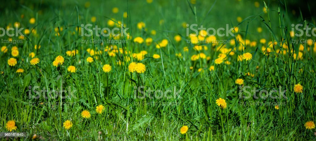 Field of yellow flowers and green grass defocus, in the foreground is a yellow flower. Spring summer background, sunny, green bright, soft background, texture. zbiór zdjęć royalty-free