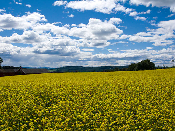 bereich der gelben blüten - epiktet stock-fotos und bilder