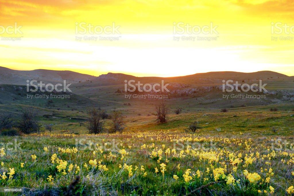 Field of yellow flowers with mountains zbiór zdjęć royalty-free