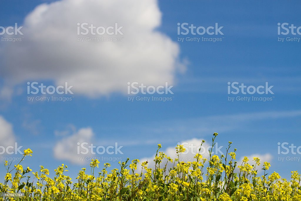 Field of Yellow Flowers XXL stock photo