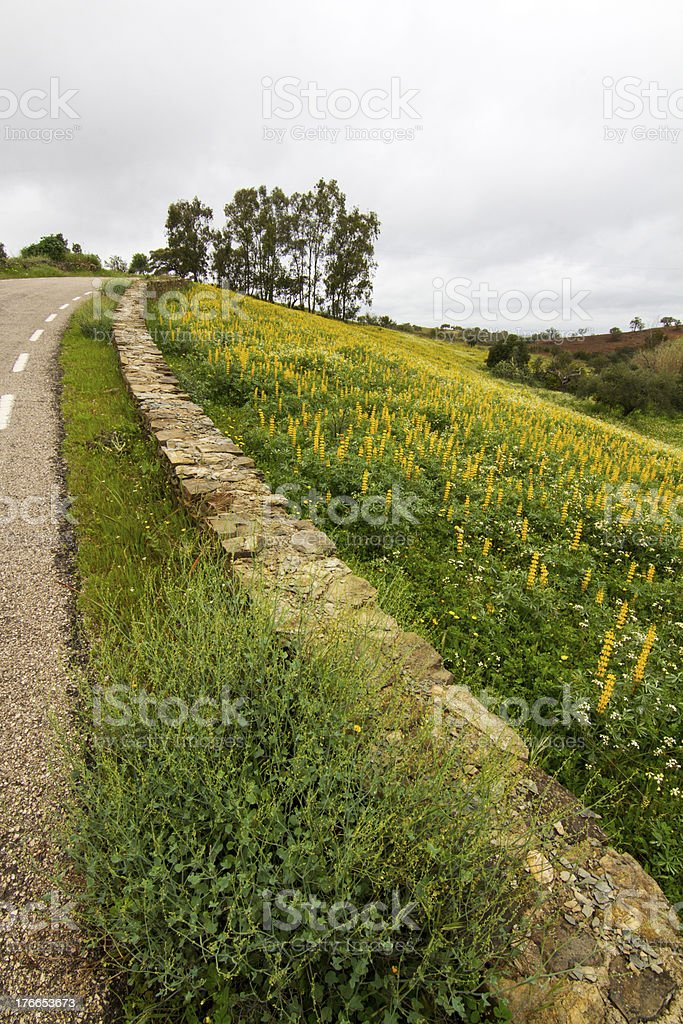 field of yellow lupine flowers royalty-free stock photo