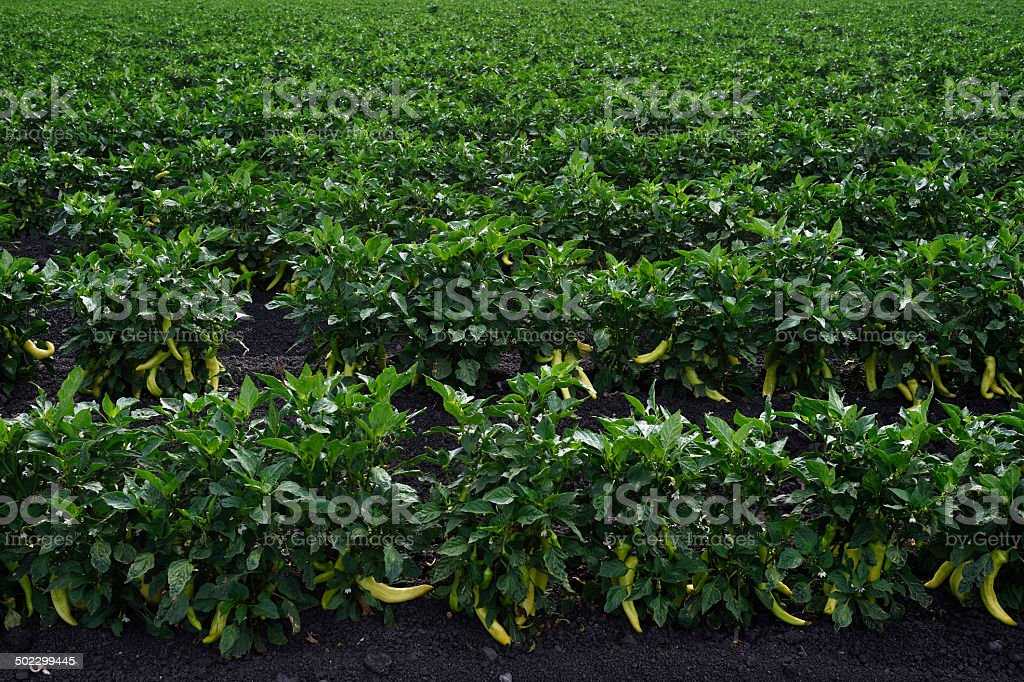 Field of Yellow Peppers Ripening on Plant stock photo