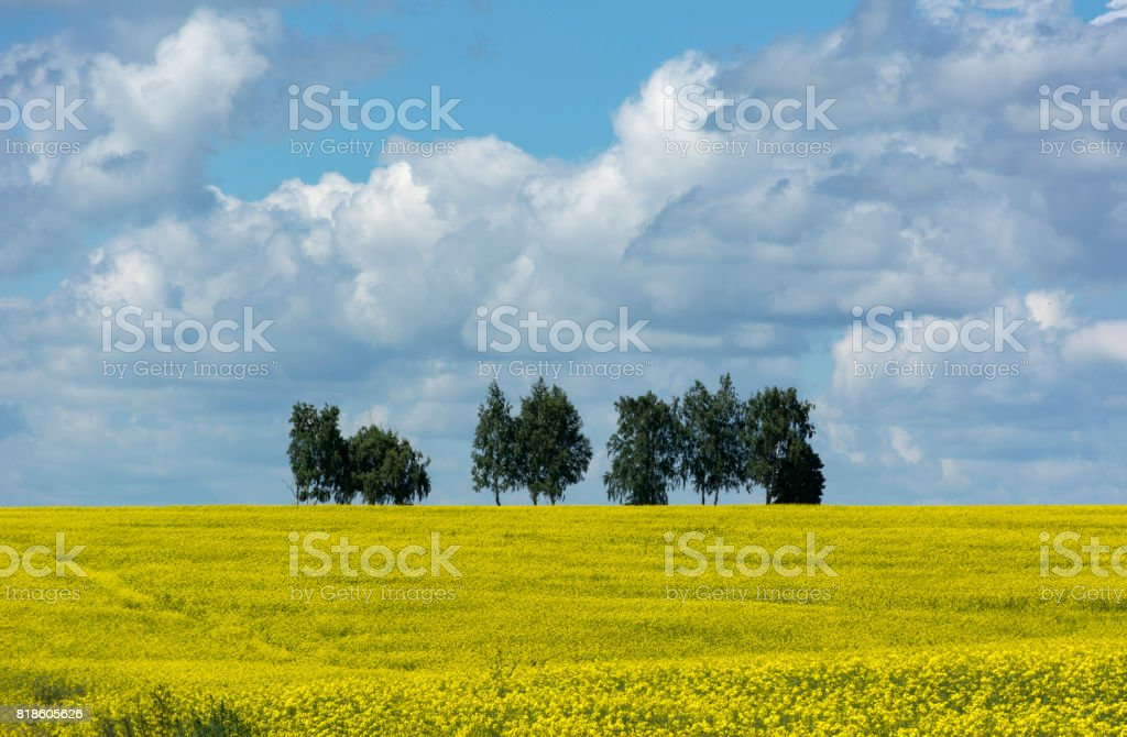 field of yellow rape flowers, the trees on the horizon, the sky with clouds, countryside stock photo
