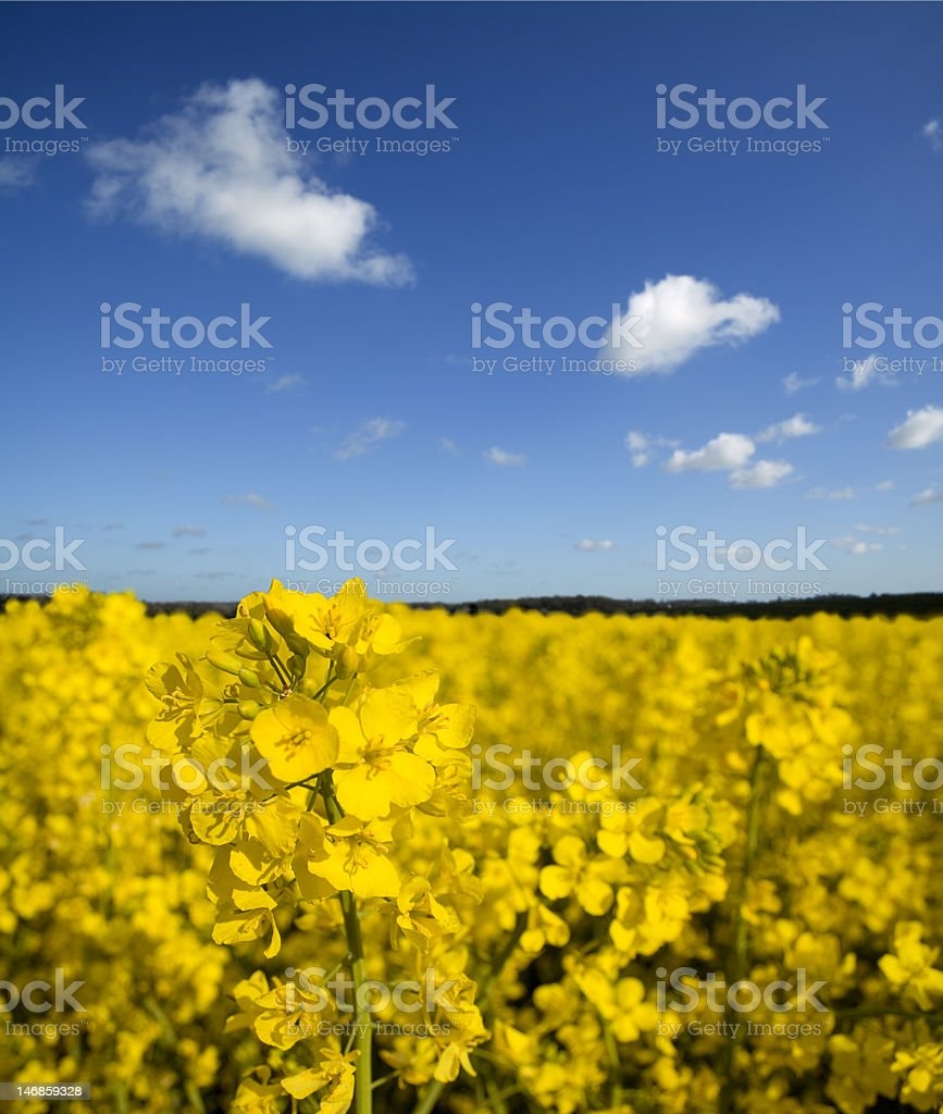 Field of Yellow Rapeseed stock photo