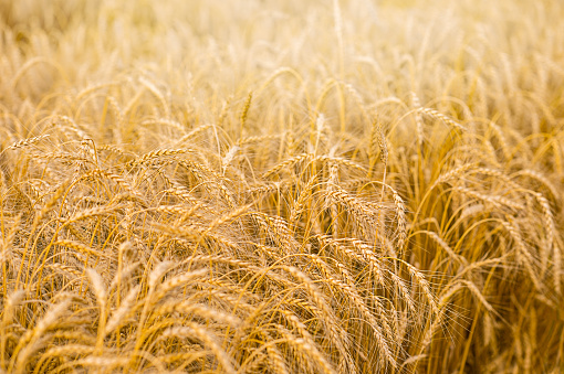 Field of yellow rye wheat. Cultivation of cereal crops.