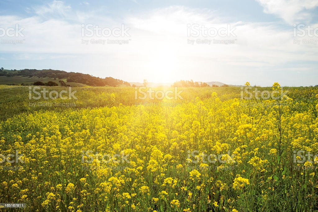 Field of yellow spring flowers stock photo