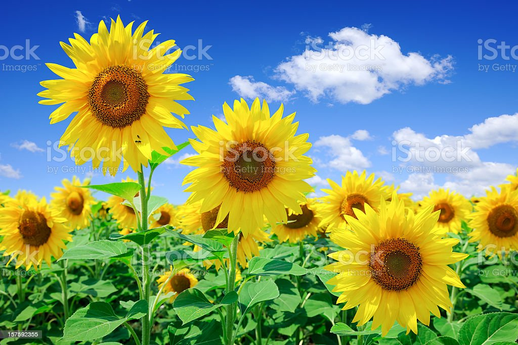 Field of yellow sunflowers with blue sky and white clouds royalty-free stock photo