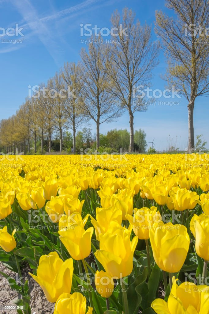 Field of yellow tulips during a beautiful spring day royalty-free stock photo