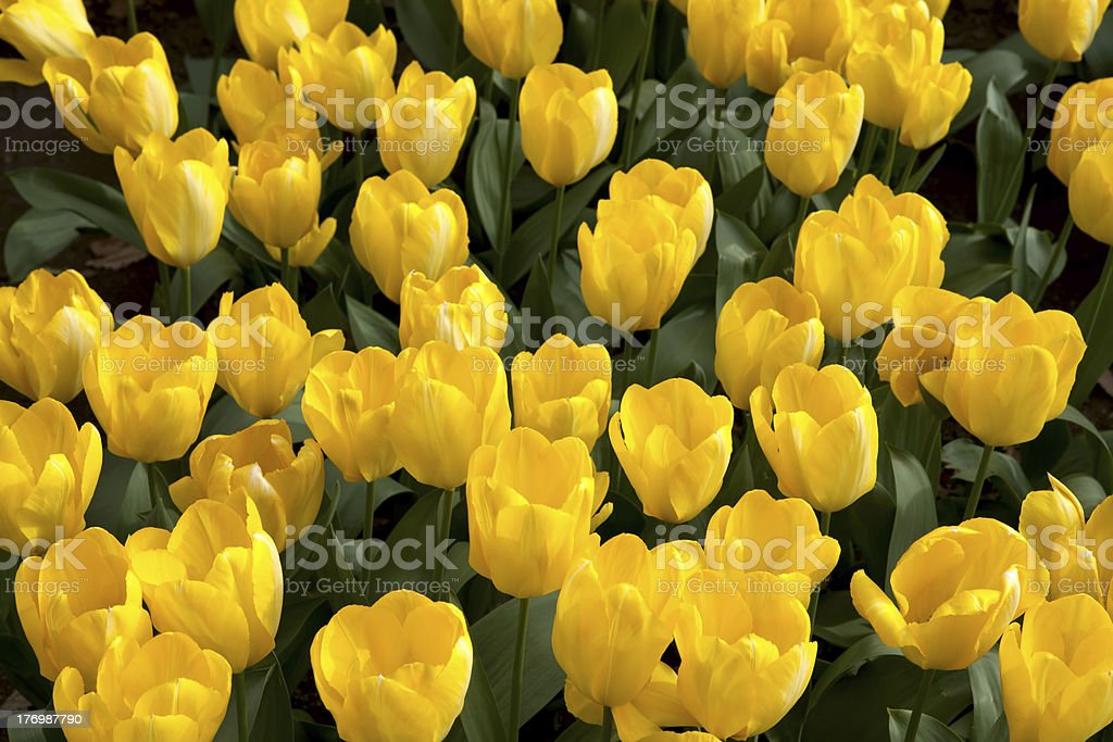 Field of yellow tulips royalty-free stock photo