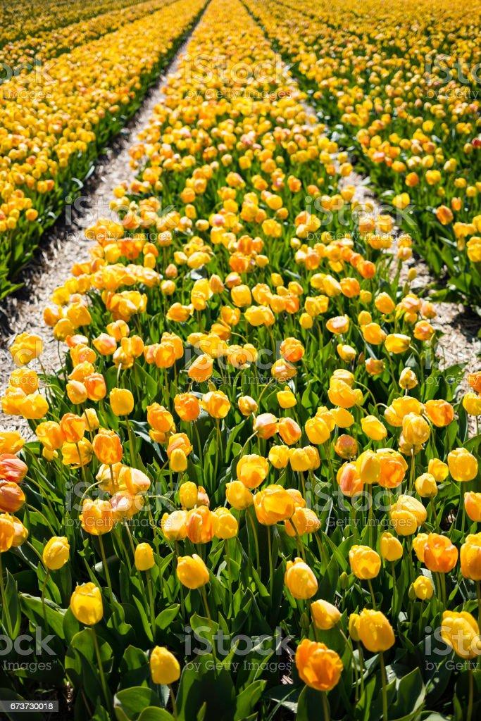 Champ de tulipes jaunes photo libre de droits