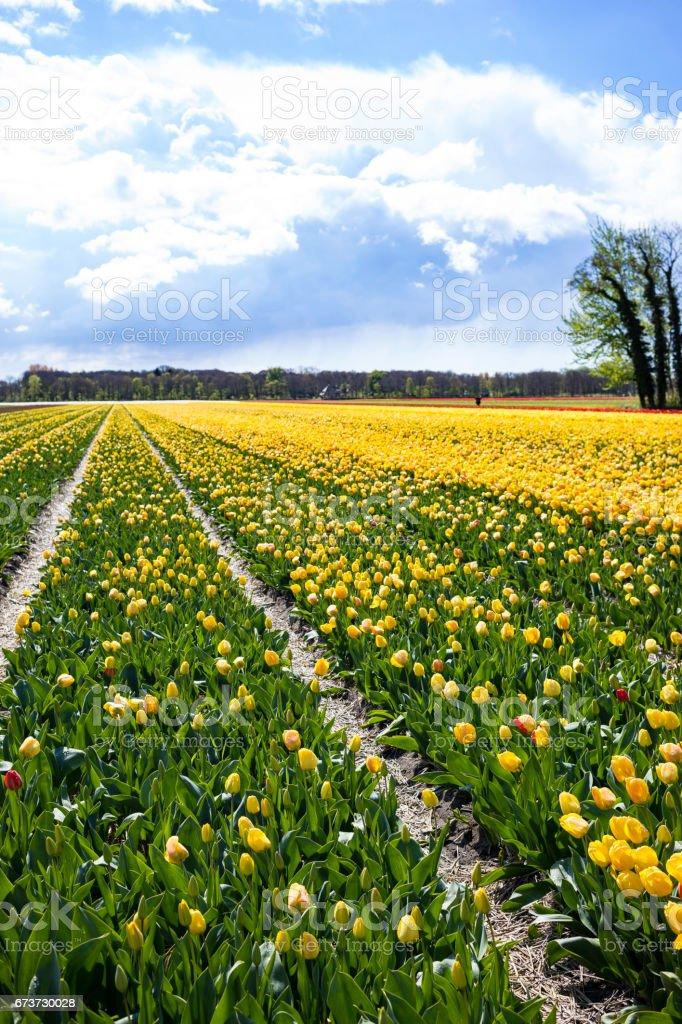 field of yellow tulips photo libre de droits