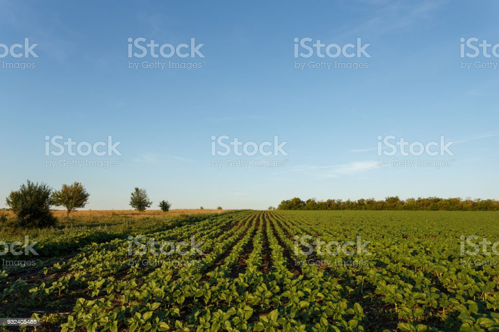 Field of young green sunflower plants at sunset stock photo