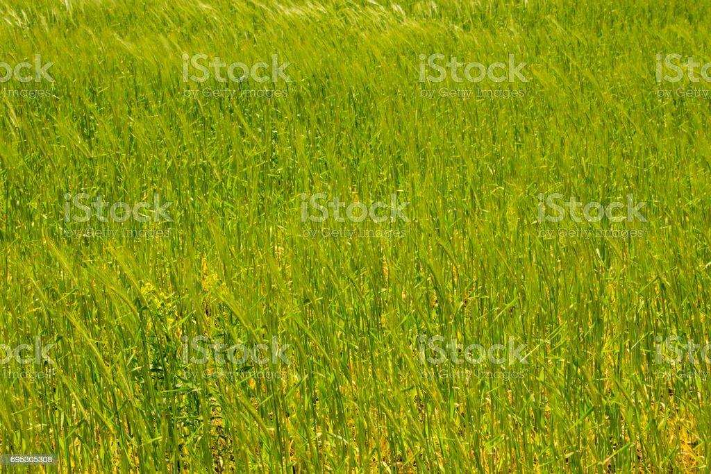 Field of young green wheat closeup stock photo