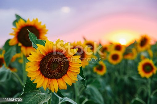 istock Field of young orange sunflowers 1255934700