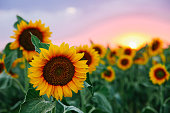 istock Field of young orange sunflowers 1255934700
