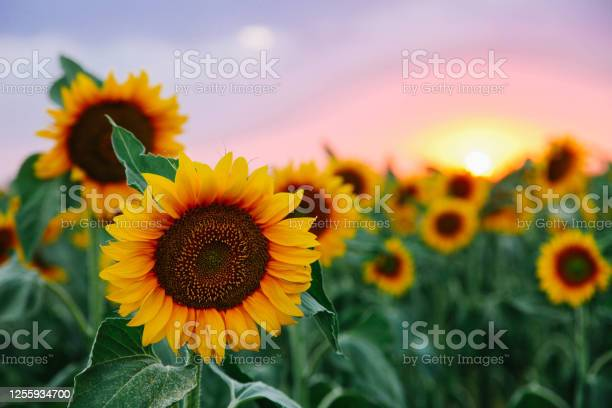 Photo of Field of young orange sunflowers